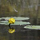 Lilly Pad by Lin Taylor