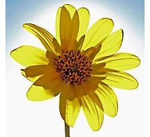 Wild Yellow Daisy  Photographic Print