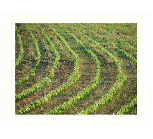 Baby Corn Field Art Print
