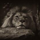 Lion by David Petranker
