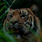 You who Tiger wake up by David Petranker