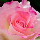 Coral Pink rose by mooksool