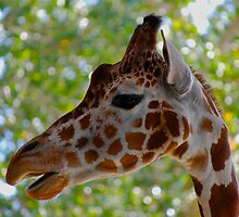Close-up Giraffe by Ron  Hanson