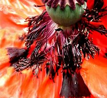Wild series;Orange Poppy  flower X!... by sendao