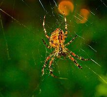 Spider in Web by Ron  Hanson