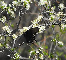 Butterfly on a Flower at LBJ National Historical Park by Susan Russell