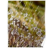 beads of water on ornamental grass Poster