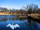Swan Lake by NatureGreeting Cards ©ccwri