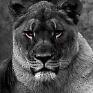 Lion Around by Jon  Johnson