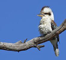 Australian Kookaburra by Jenni Horsnell
