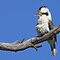 Australian Kookaburra by Jenni Horsnell