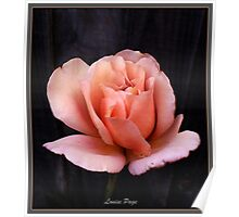 Pastel Peach Rose Poster