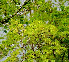 Maple tree blossoms 2 by Carolyn Clark