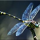 Dragonfly by Kym Howard