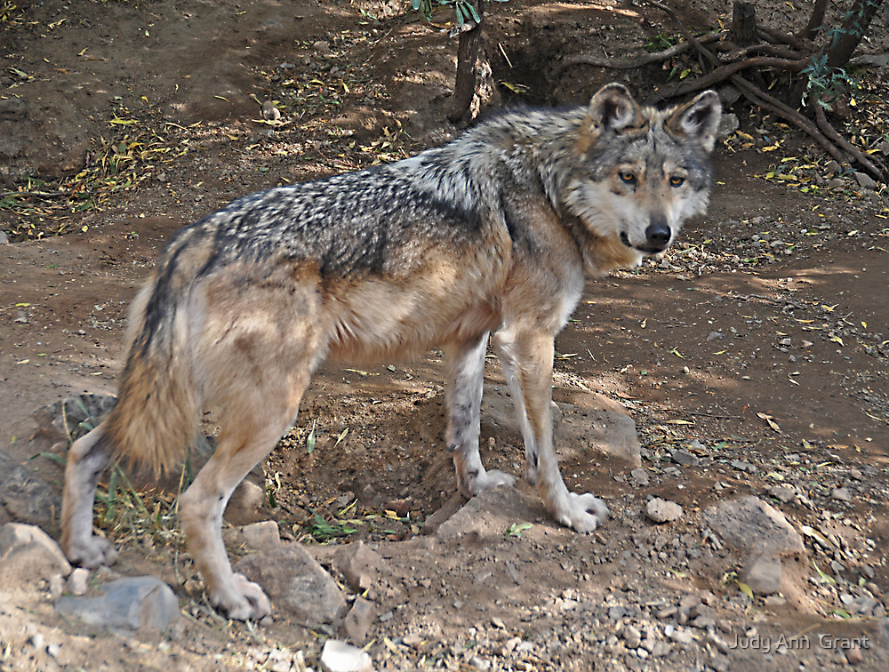 Mexican Wolf  by Judy Grant