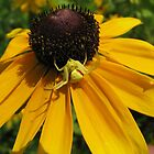 yellow coneflower with visitor by sandoodles