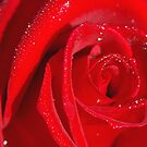 Red Rose - NSW by CasPhotography