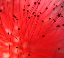 Intricate details of a red flower by sandoodles