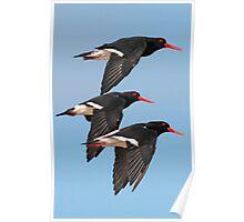 Oystercatchers in flight 2 Poster