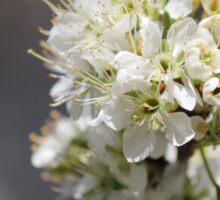 Plum Tree Blossoms Sticker