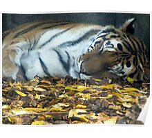 Sleeping Tiger Poster