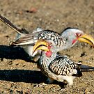 TWO IS COMPANY - Southern Yellow-billed Hornbill - Tockus leucomelos – Geelbekneushoringvoel by Magriet Meintjes