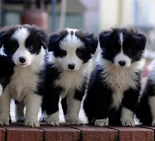 Border Collie Babes by Robyn Evans