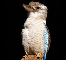 kookaburra captive by cheza77