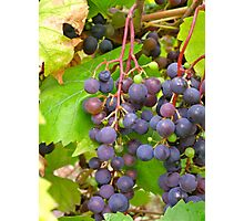cluster of red grapes Photographic Print