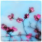 Red Dogwood tree blossom by signore