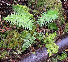 Ferns, King Billy Walk, Cradle Mountain,Tasmania, Australia. by kaysharp