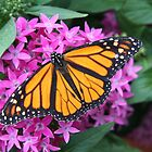 Monarch Butterfly by ECH52