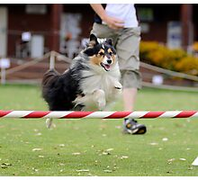 Soaring Sheltie Photographic Print