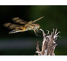 A halloween pennant dragonfly. Photographic Print