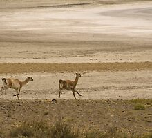 Guanacos by pahit