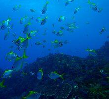 Fish at Julian Rocks near Byron Bay, Australia by solwalkling