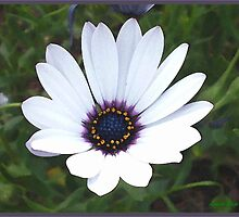Little White Daisy by Louise Page