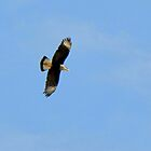 Crested Caracara in Flight by Kimberly P-Chadwick
