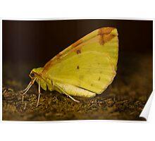 Brimstone moth Poster