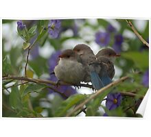 This seasons Blue Wren baby session Poster