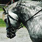 Connemara Stallion by Abundantlifepro