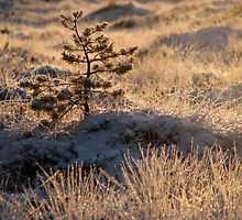 16.12.2009: Tree and Winter's Sweet Light by Petri Volanen