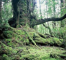 Ancient Myrtle, Forest of the Giants, the Tarkine. by Phil ONeill
