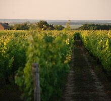 Through the Vineyards by Jacinthe Brault
