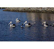 Pelican Roundup Photographic Print