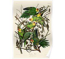 Carolina Parrot Audubon Birds of America Poster