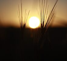 framed sunset amongst the wild barley by cydonia154