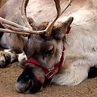 Reindeer waiting for Santa, Happy waiting by loiteke