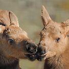Moose Babies by Dyle Warren