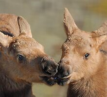 Moose Babies by Dyle Warren